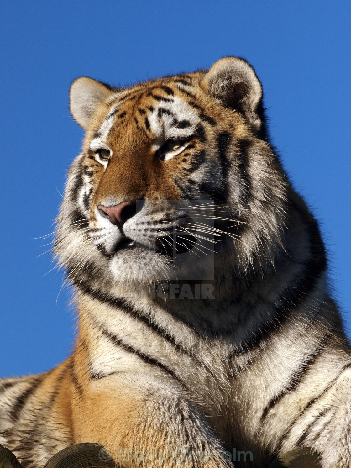 """Blue sky tiger"" stock image"