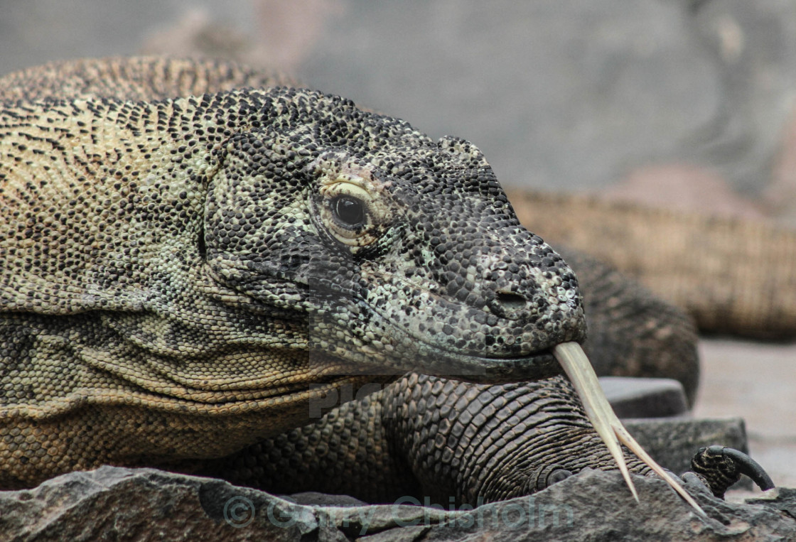 """Komodo Dragon"" stock image"