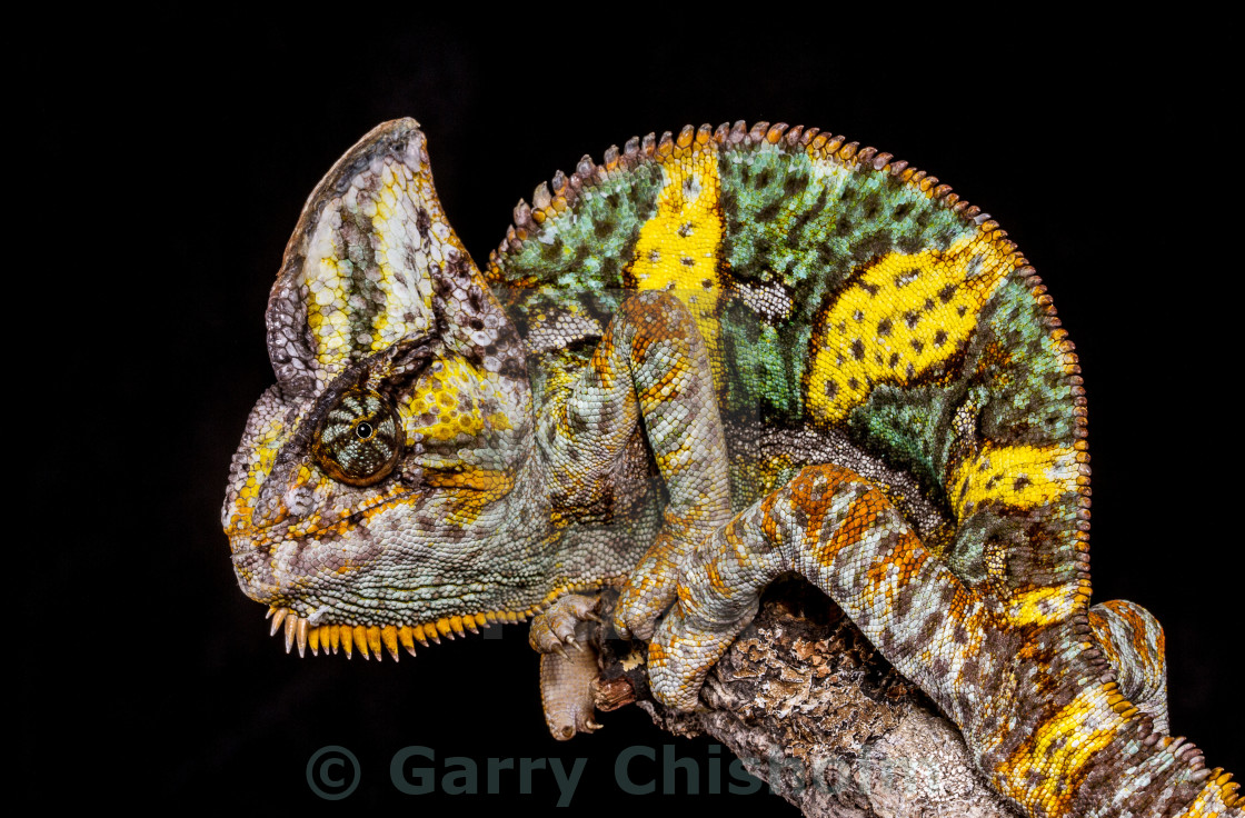 """Beauty of the Yemen Chameleon"" stock image"