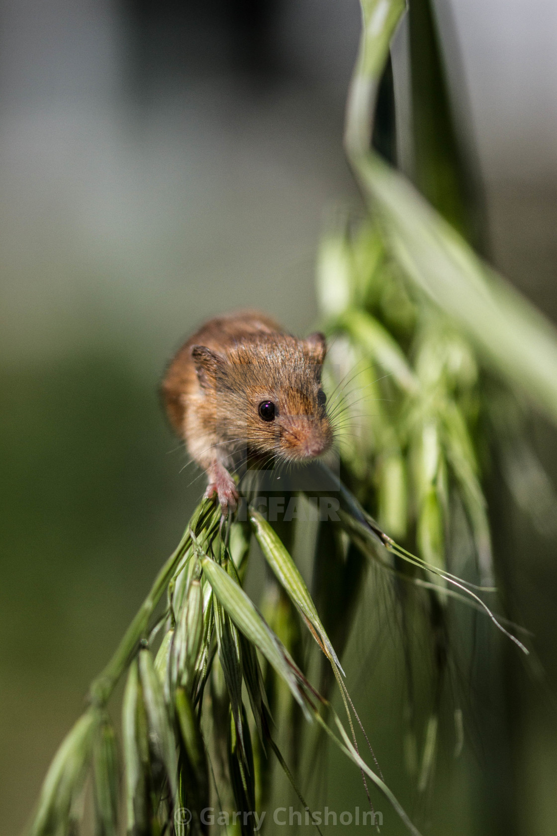 """""""The Harvest Mouse"""" stock image"""