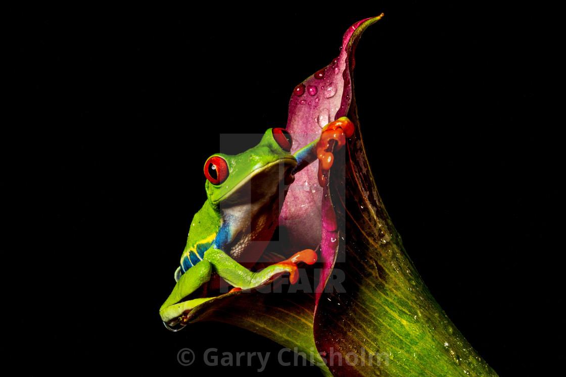 """Amazing Tree Frog"" stock image"