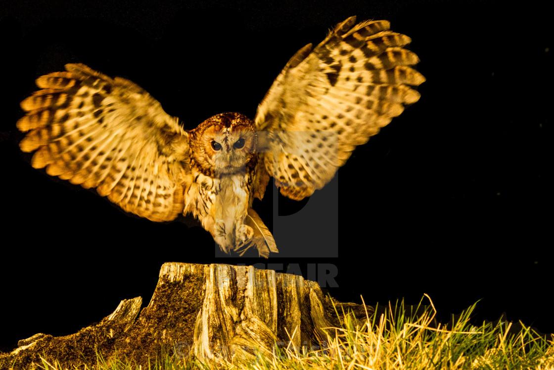 """""""Night owl"""" stock image"""