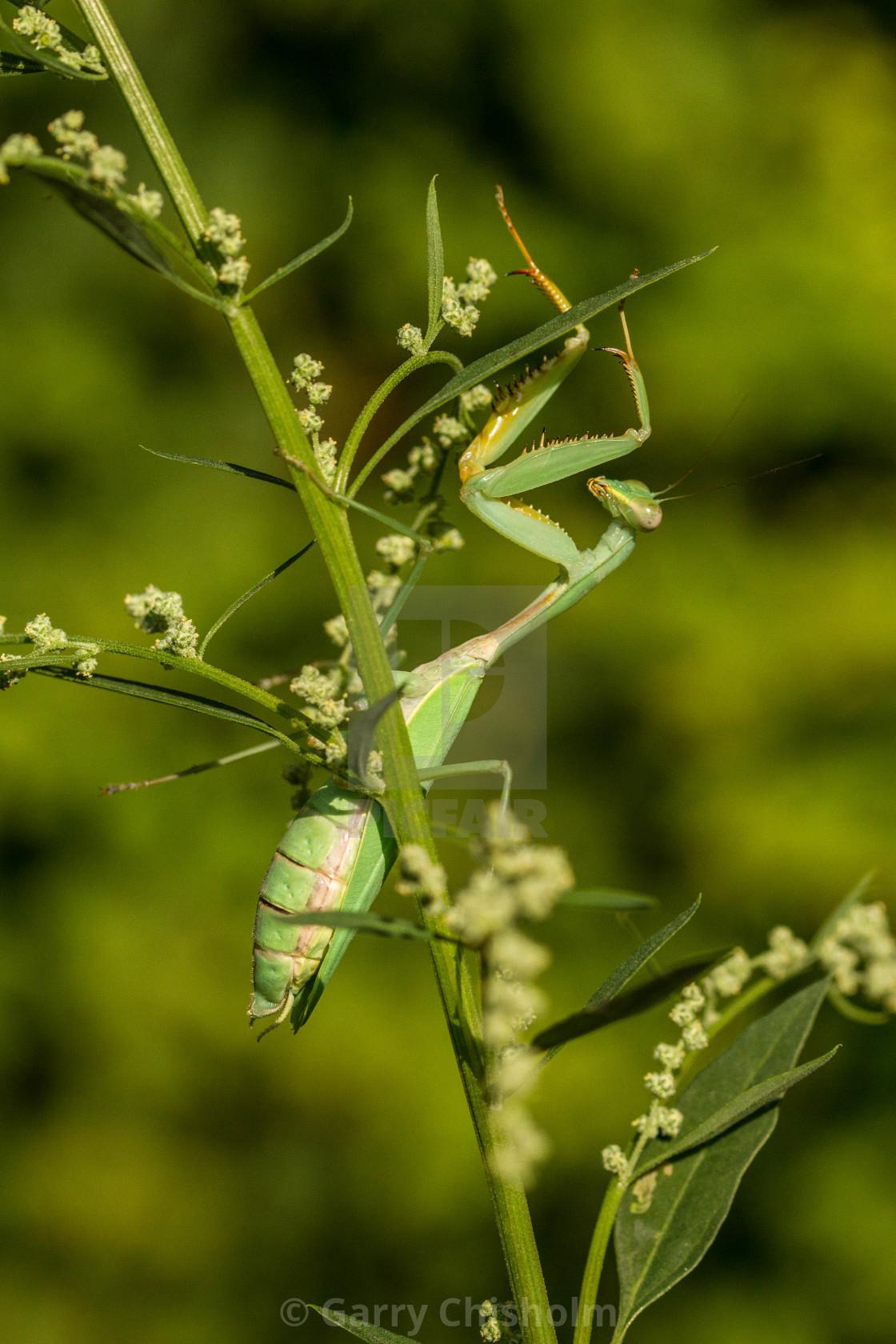 """""""Praying Mantis"""" stock image"""