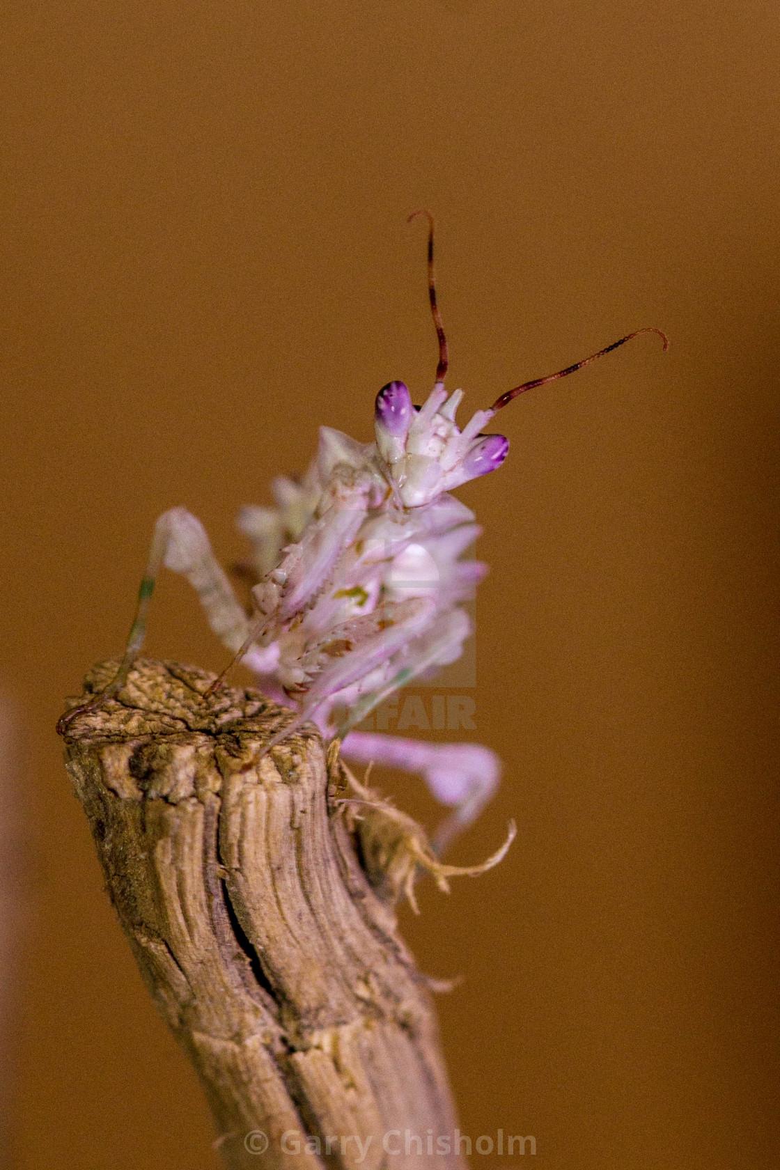 """Spiny Flower Mantis"" stock image"