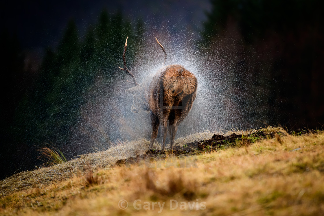 """Wet Red Deer"" stock image"
