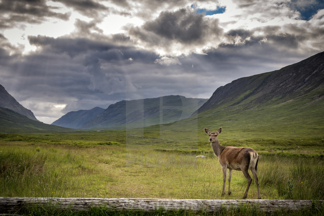 """Female deer at Glencoe"" stock image"