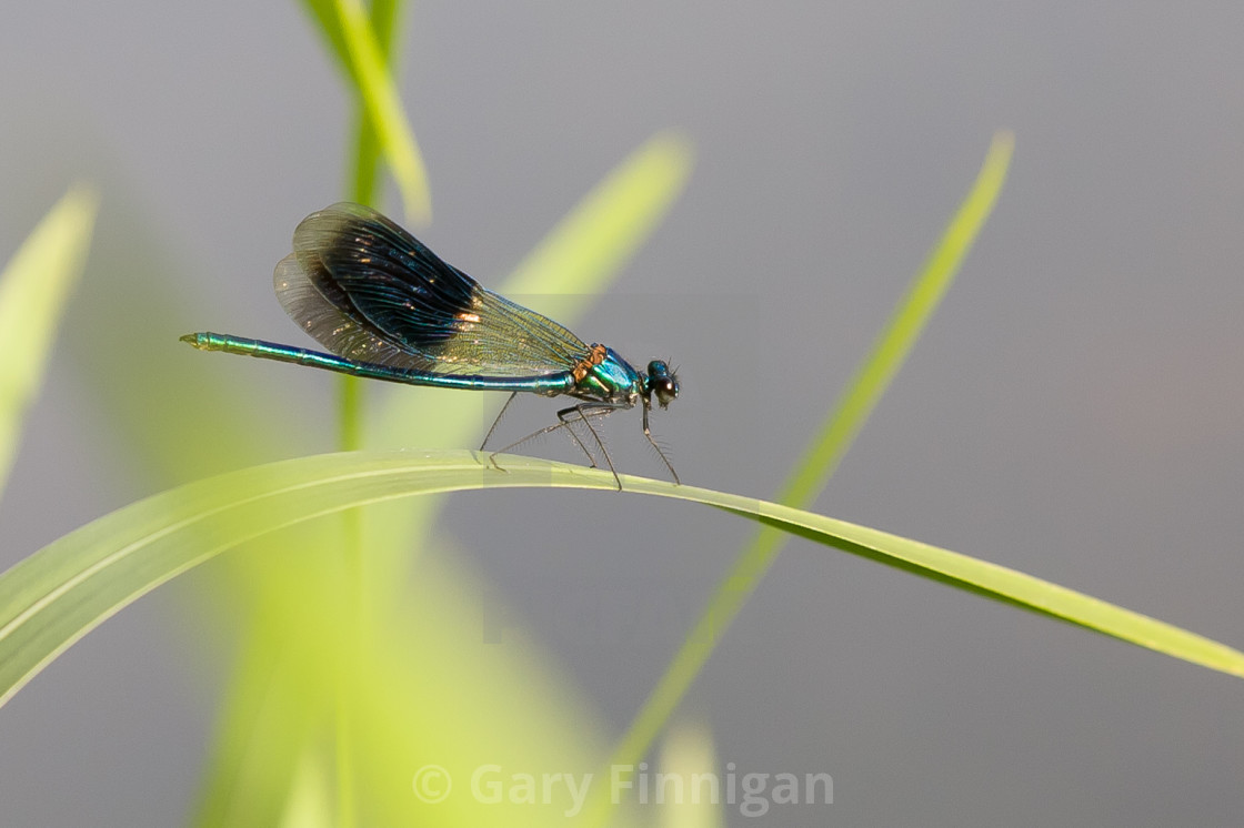 """The banded demoiselle (Calopteryx splendens) is a species of damselfly..."" stock image"