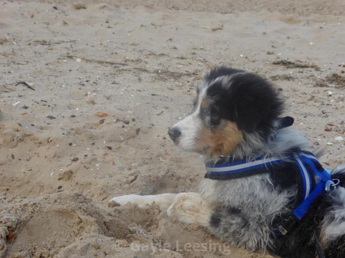 Australian Shepherd Puppy On Norfolk Sand - License, download or
