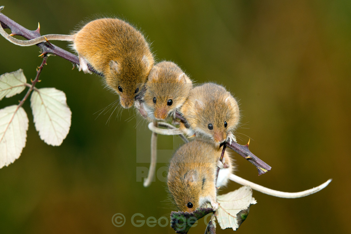 """Harvest Mouse Collection"" stock image"