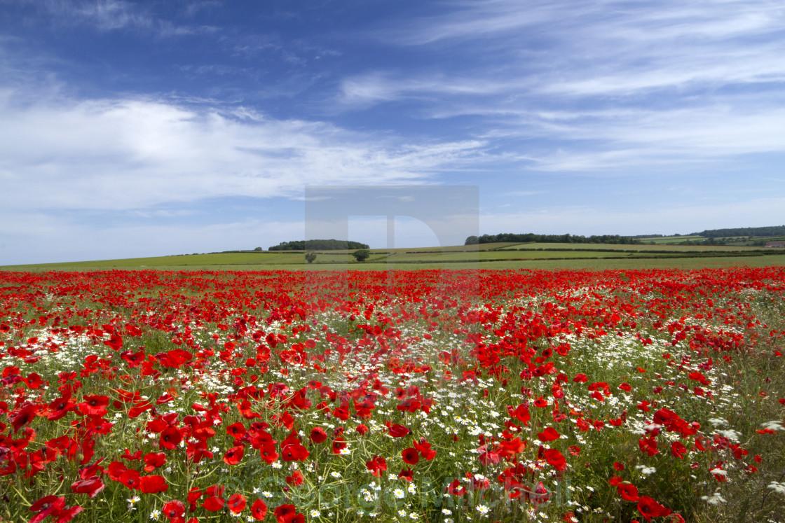"""Poppy Field, North Creek, Norfolk"" stock image"