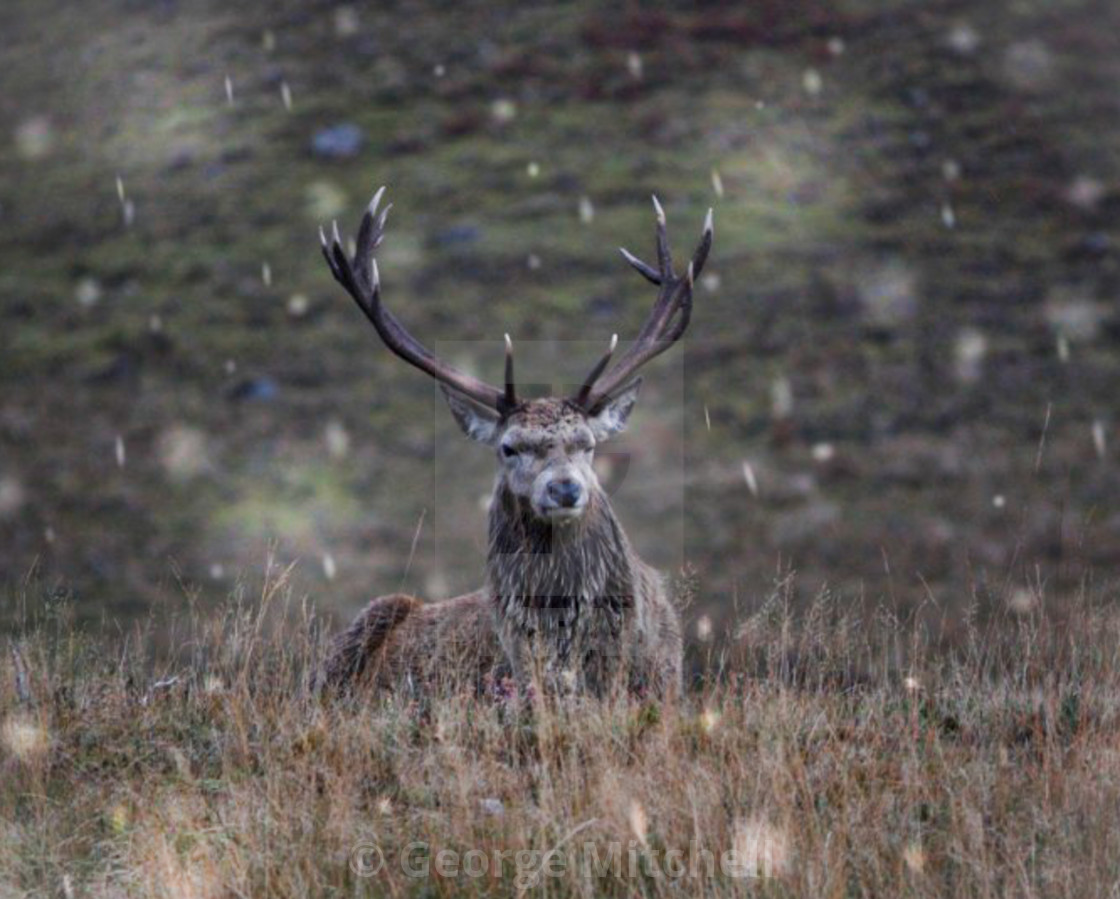 """Snowing in the Highlands with Stag"" stock image"