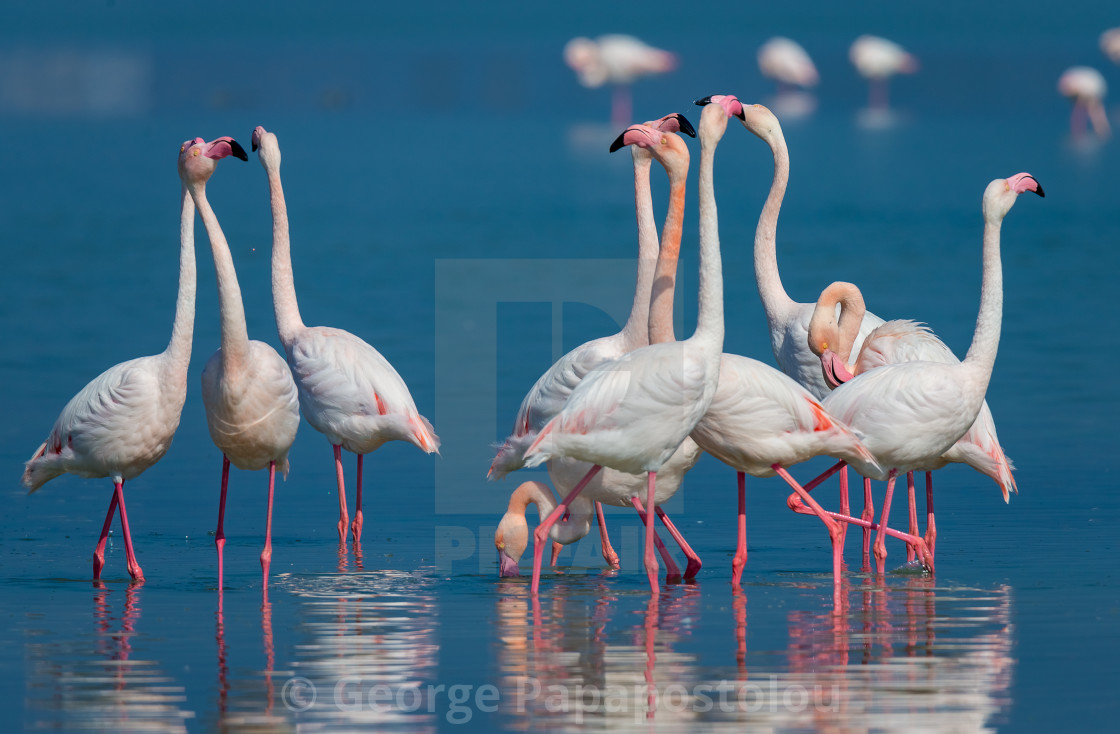 """Flamingo in the Lake"" stock image"