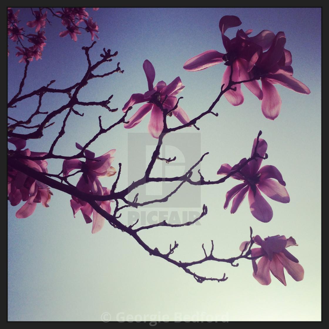 """Blossom in springtime"" stock image"