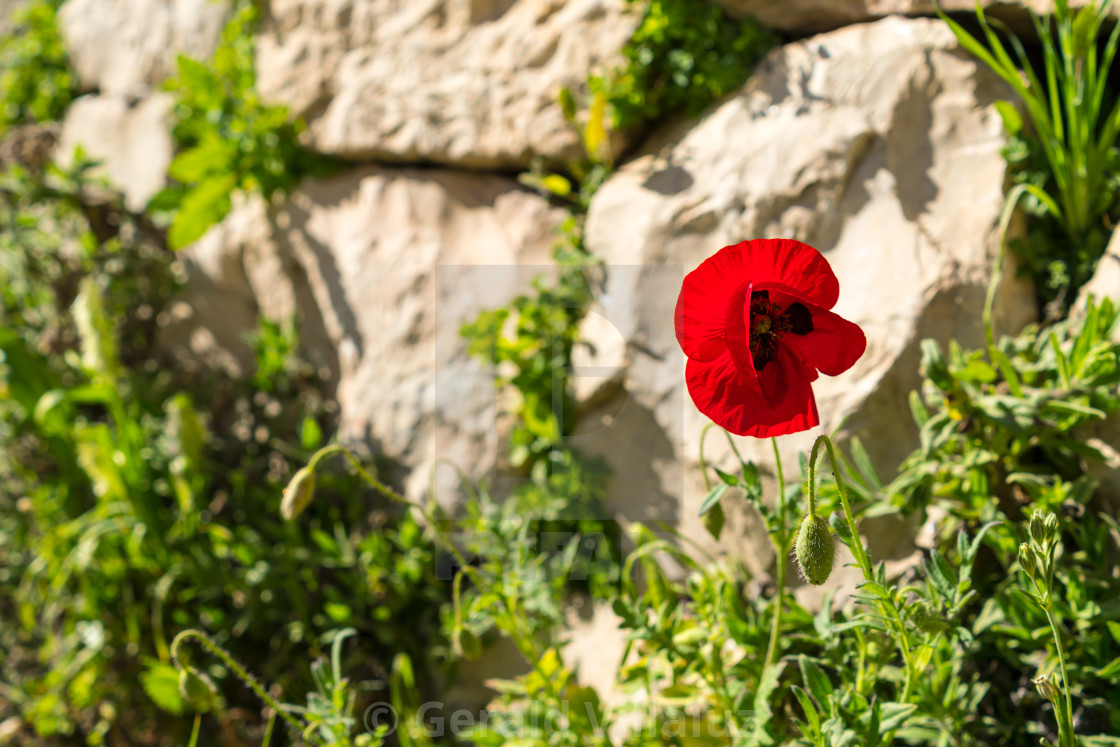 Lone Red Flower In Pool of Bethesda - License, download or