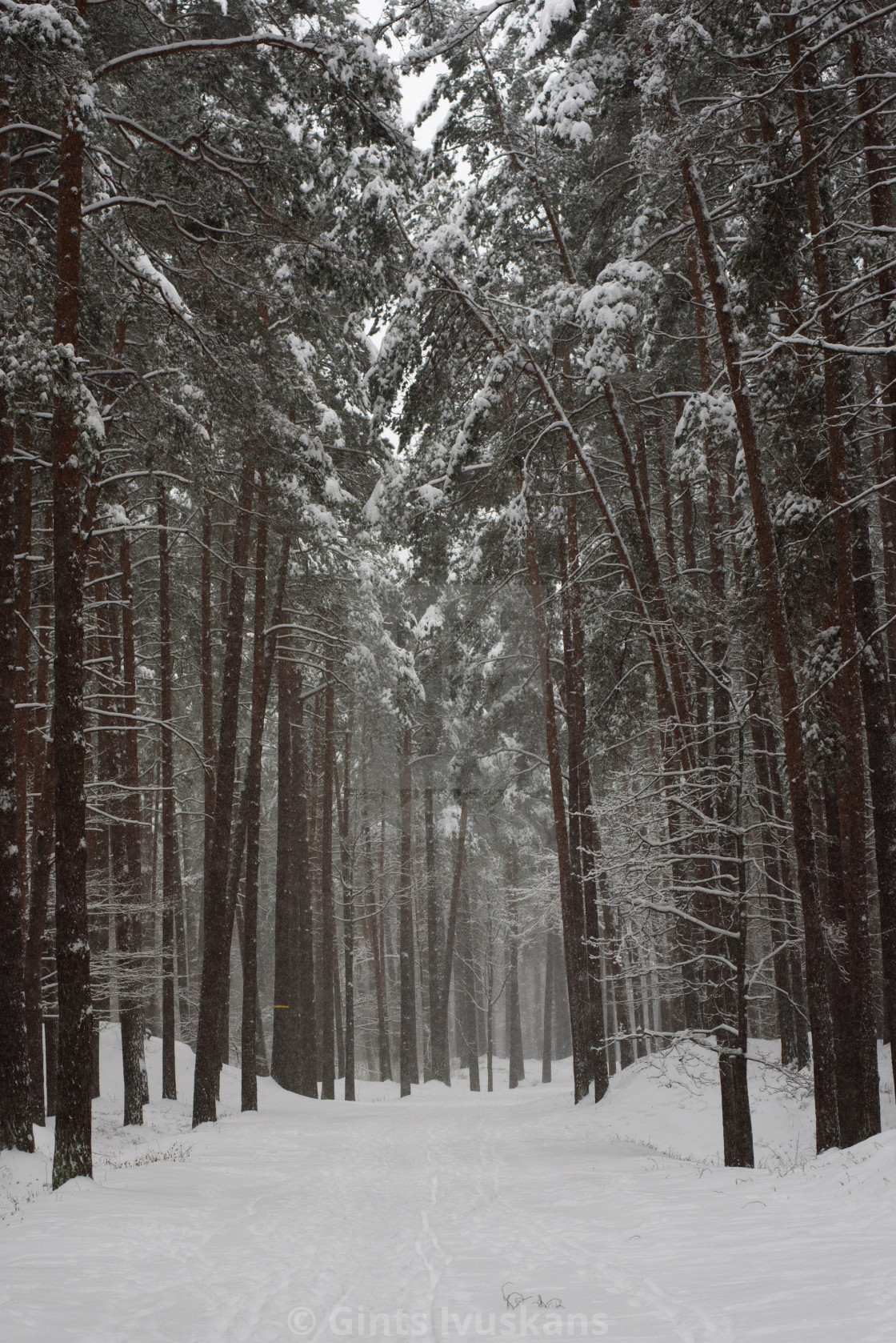 """""""Snowy forest trail with pine trees at background in forest."""" stock image"""