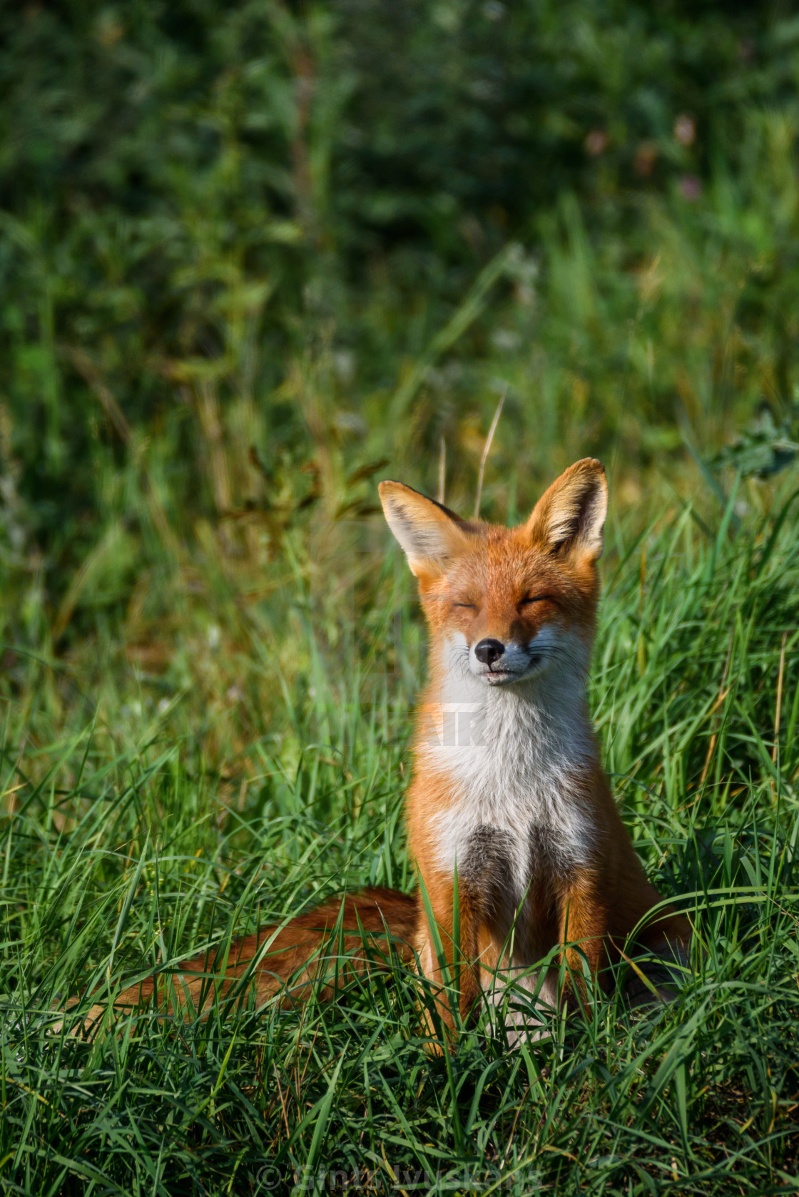 """""""Beautiful red fox (vulpes vulpes) with closed eyes sitting on grass at meadow."""" stock image"""