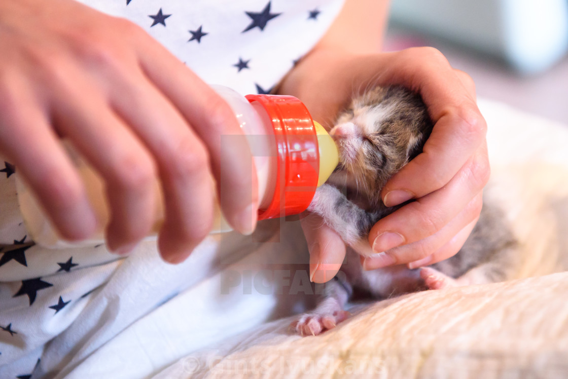 """Feeding newborn kitten with warm mixture of milk of special plastic feeding bottle."" stock image"