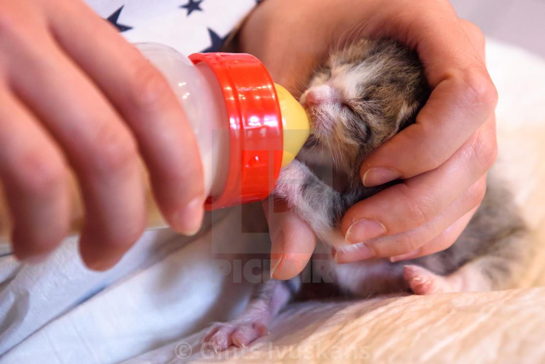 """Feeding newborn kitten with warm mixture of milk of special plastic feeding bottle."" stock image"