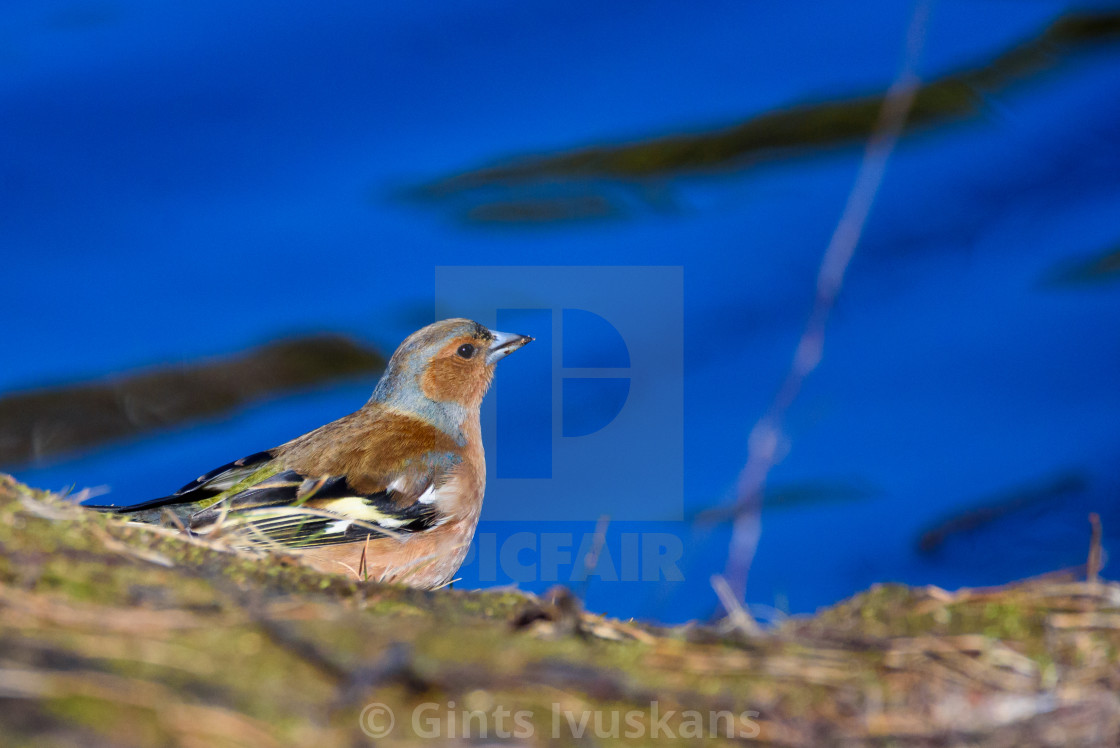 """Male Common chaffinch (Fringilla coelebs) bird near lake, during sunny spring day. Beautiful sunlight."" stock image"