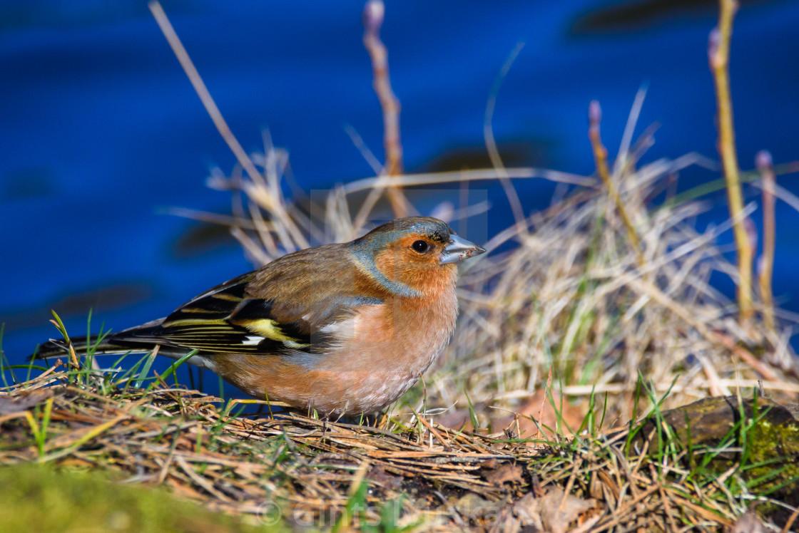 """Male Common chaffinch (Fringilla coelebs) bird near lake, during sunny spring day. Beautiful sunlight."" stock image"