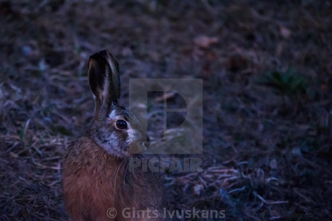 """European hare (Lepus europaeus) after sunset."" stock image"