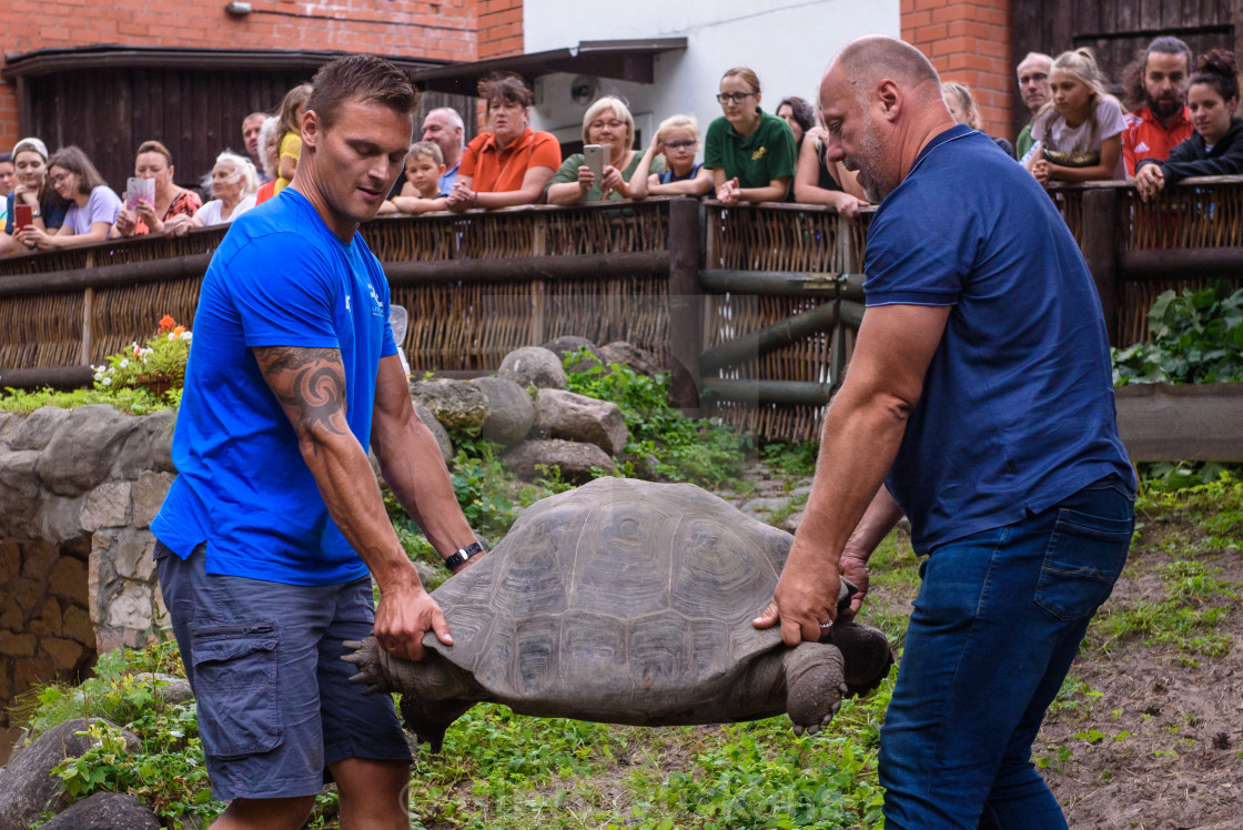 """19th annual Galápagos Tortoises weighing event at Riga Zoo. Riga, Latvia."" stock image"