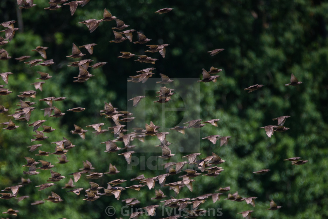 """Huge crowd of common starling birds flying over field at countryside."" stock image"