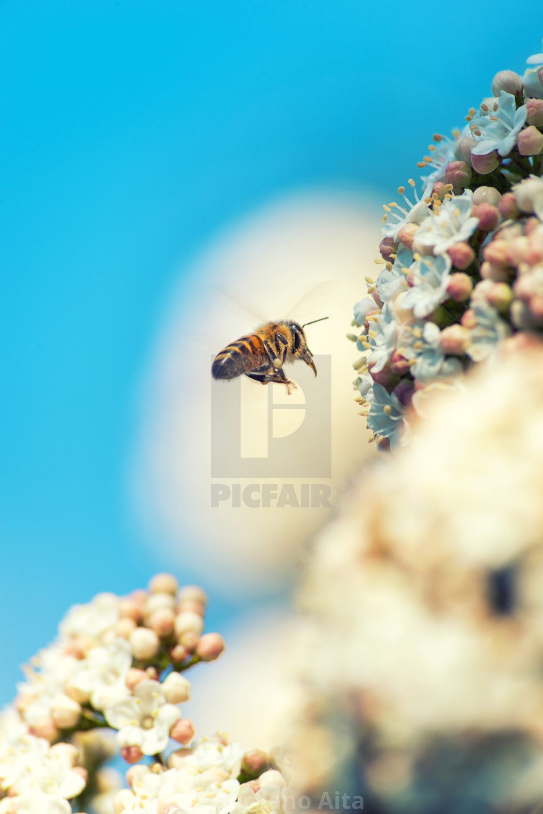 """Bee flying on flowers"" stock image"