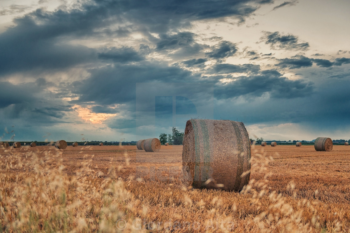 """""""Harvested wheat fields"""" stock image"""
