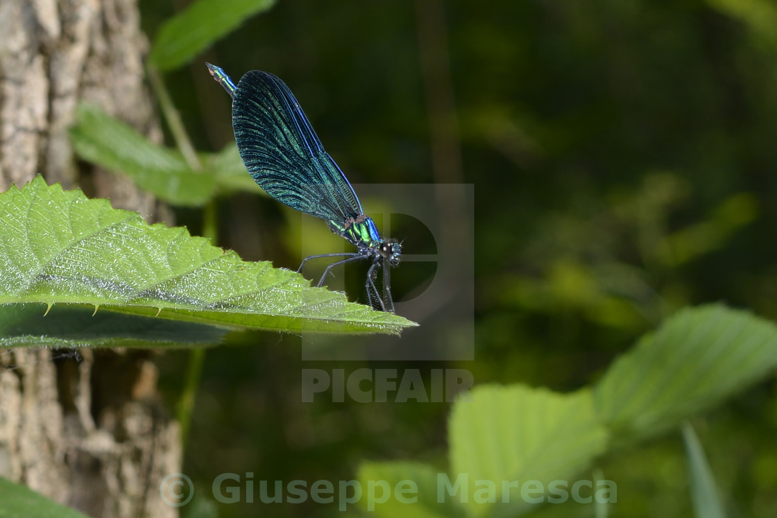 """""""dragonfly on a leaf."""" stock image"""
