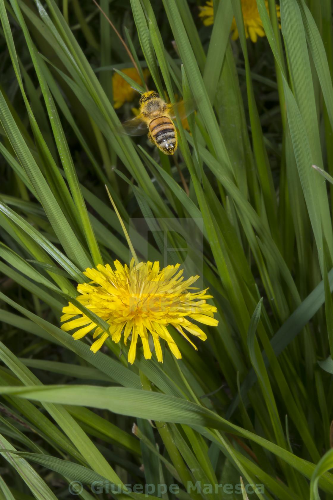 """flyng bee"" stock image"