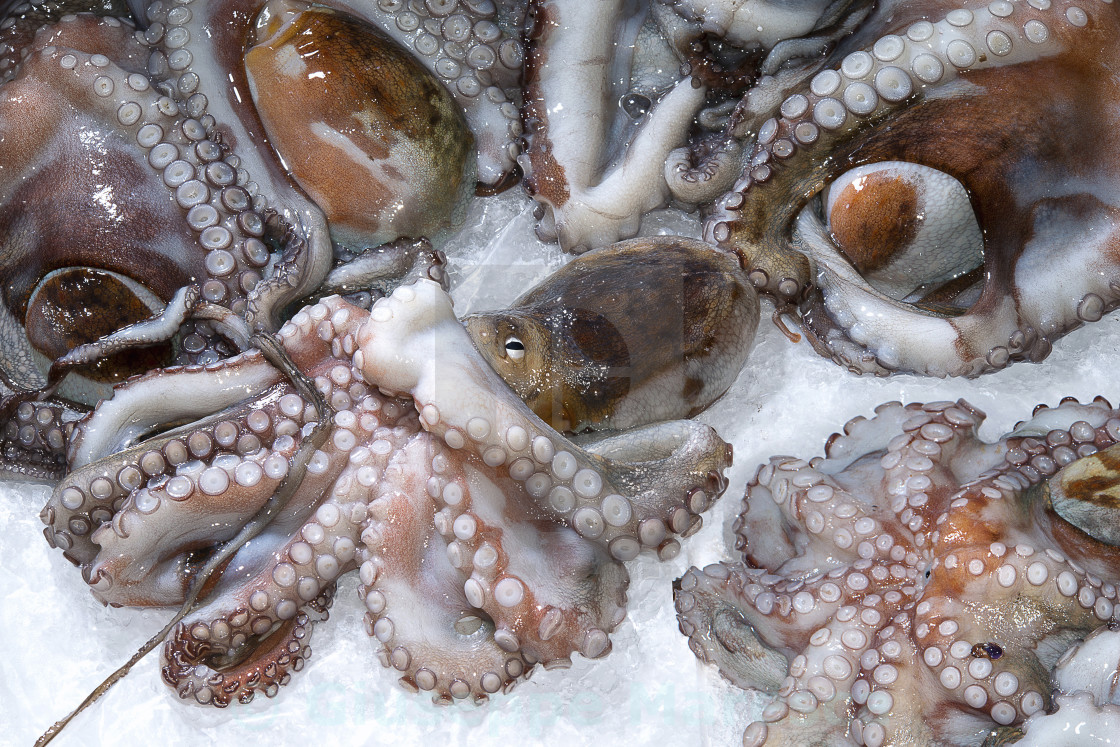 """""""octopuses"""" stock image"""