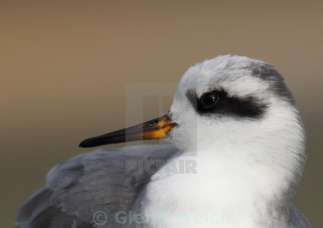 """Grey Phalarope Close up"" stock image"
