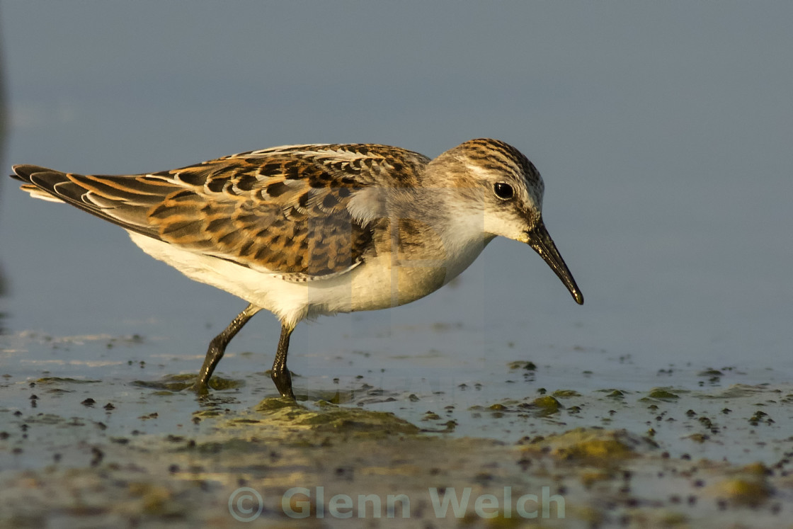 """Little Stint"" stock image"