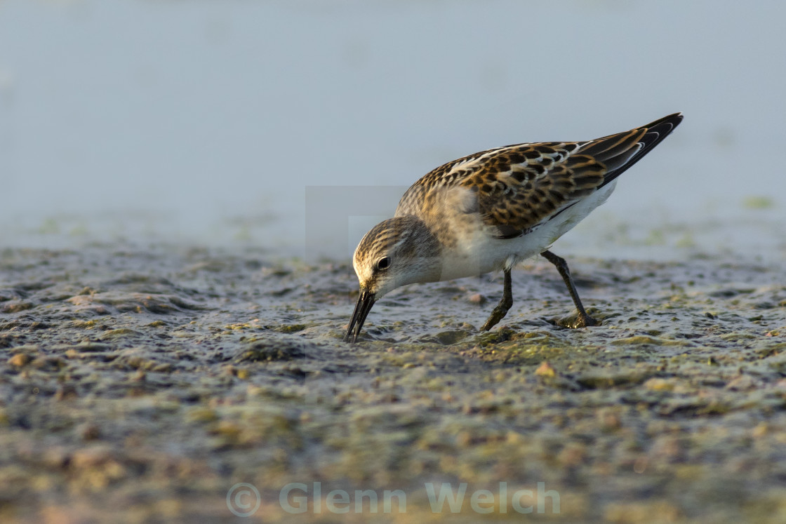 """Little Stint Feeding"" stock image"