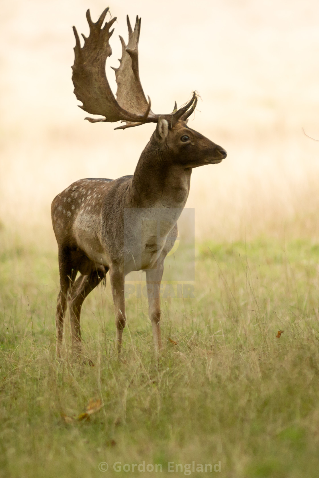 Fallow Stag Deer