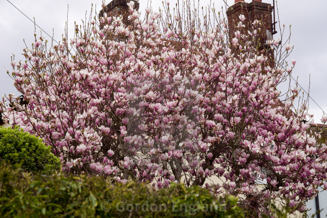 Magnolia Tree In Bloom License Download Or Print For 1240