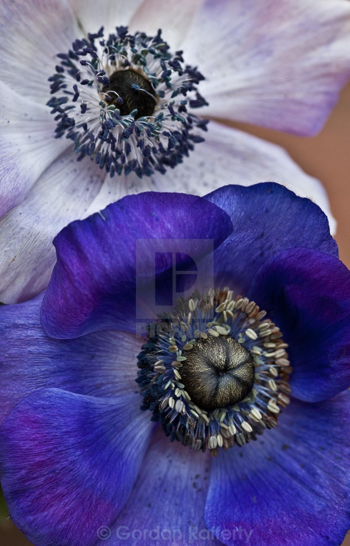 """Purple and White Anemone"" stock image"