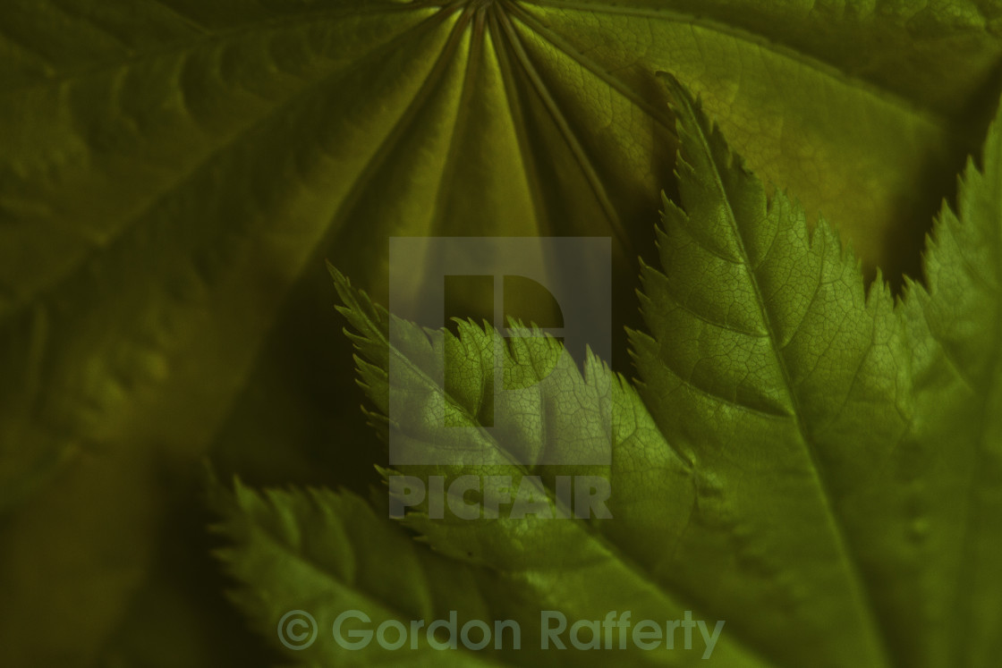 """Acer Green Tree Leaves"" stock image"