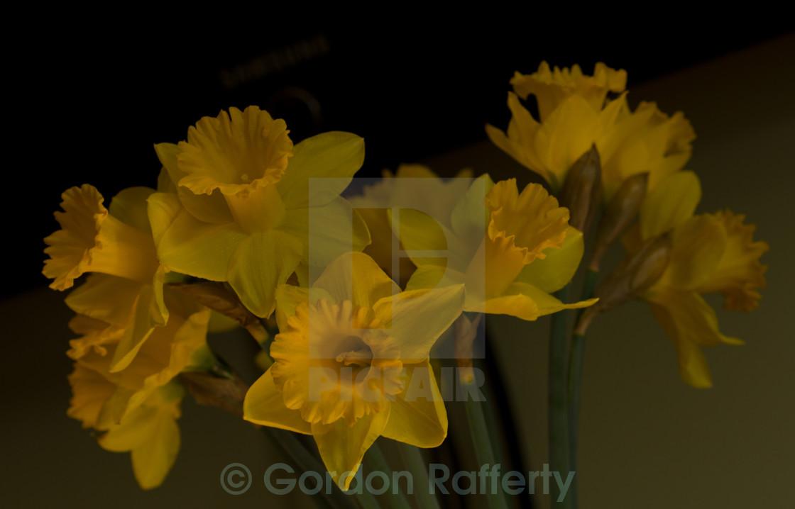 """Daffodil Arrangement"" stock image"