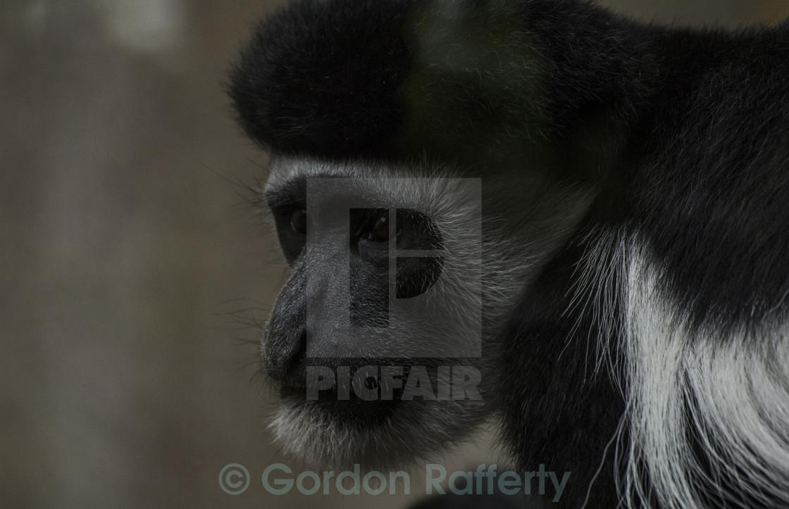 """""""Colobus Monkey"""" stock image"""