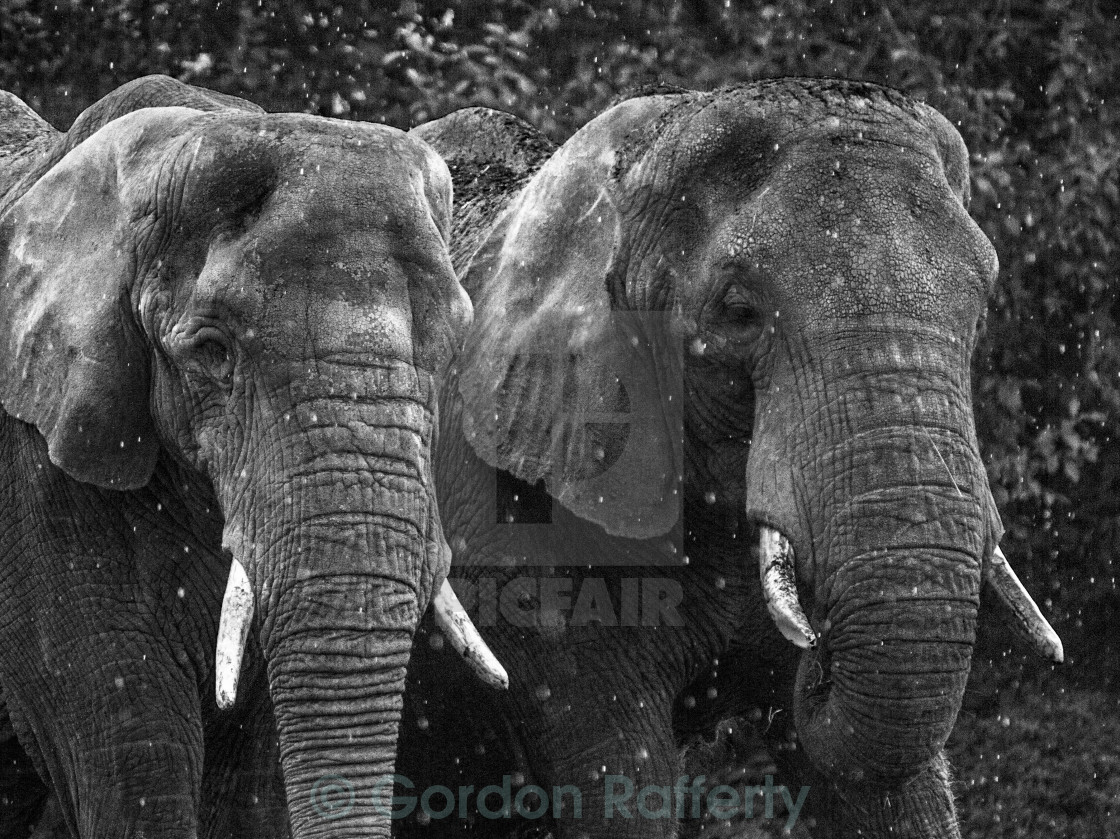 """Elephants in the Rain"" stock image"
