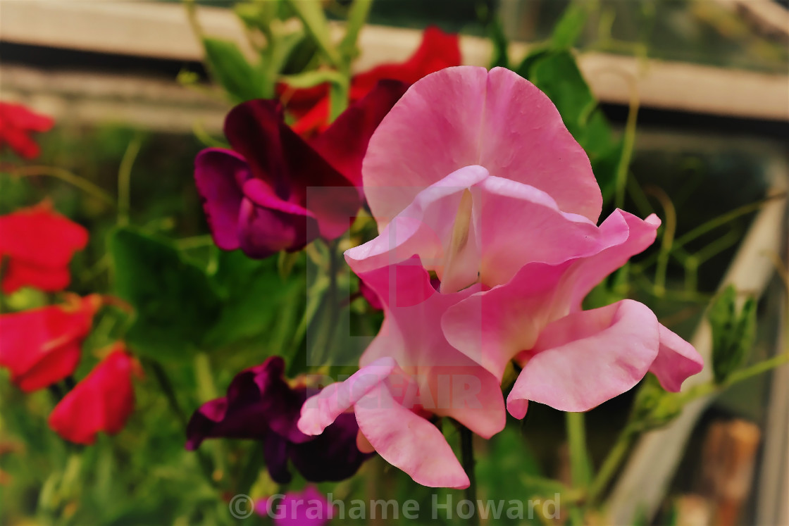 """""""Flowers in colour"""" stock image"""