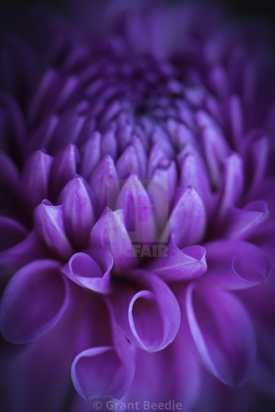 """Dahlia Flower 2"" stock image"