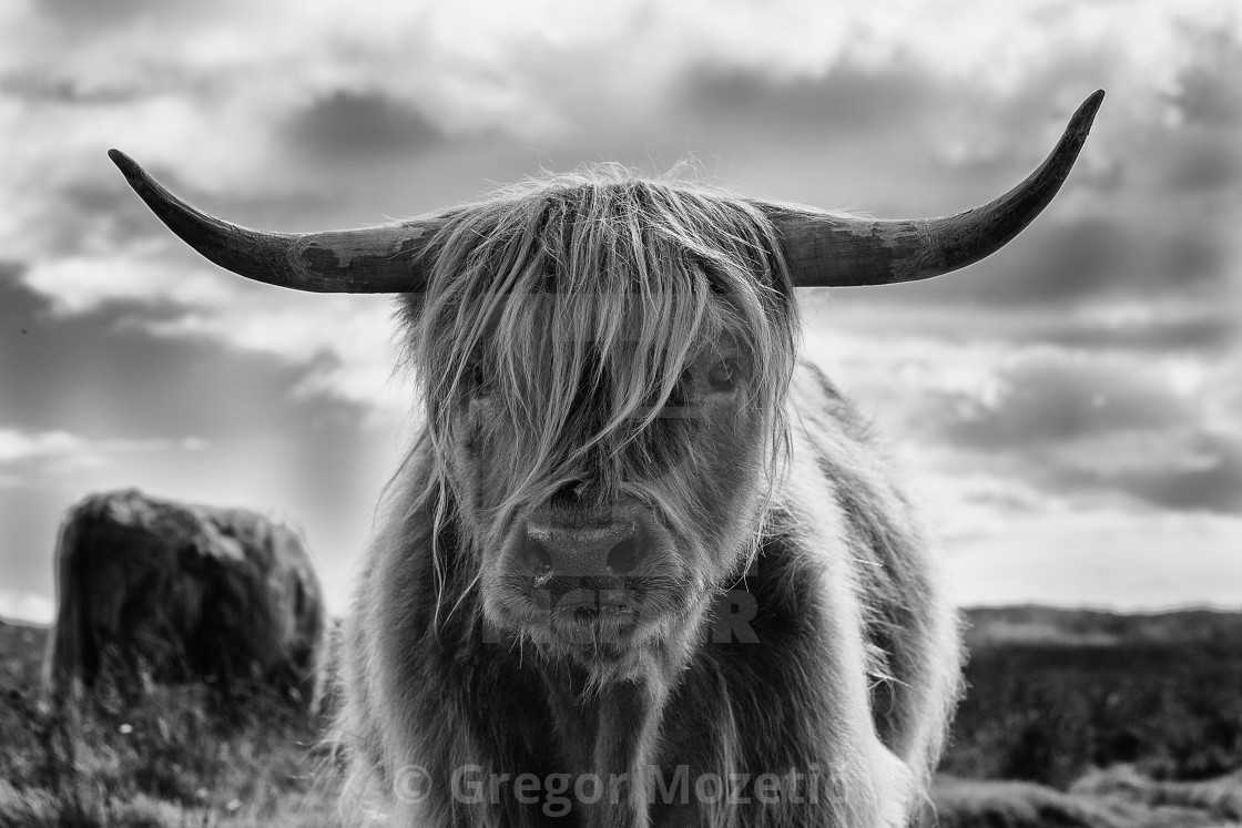 """Highland Cattle bull"" stock image"