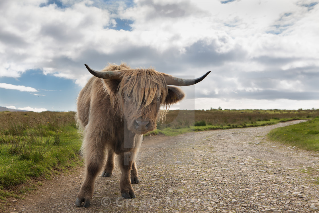 """""""Lonely highland cattle on a country road"""" stock image"""