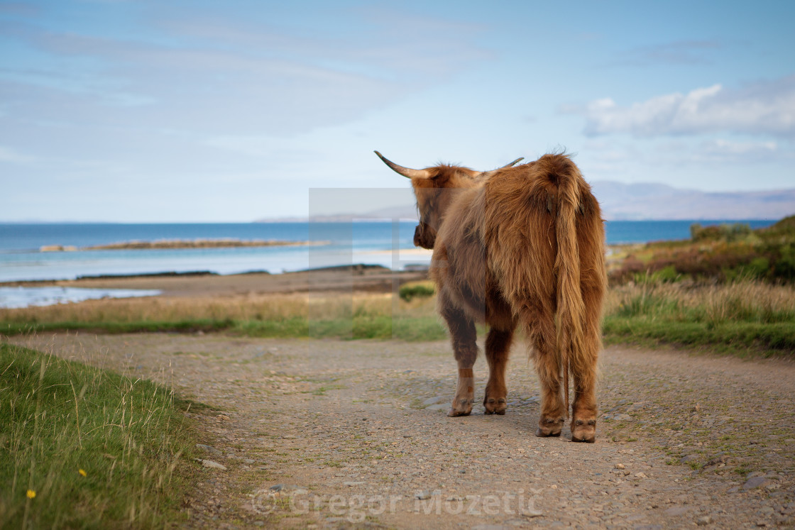 """Lonely highland cattle on a country road"" stock image"
