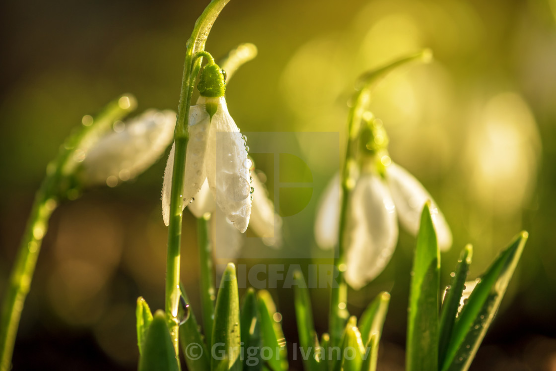 Snowdrops First Spring Flowers License For 1240 On Picfair