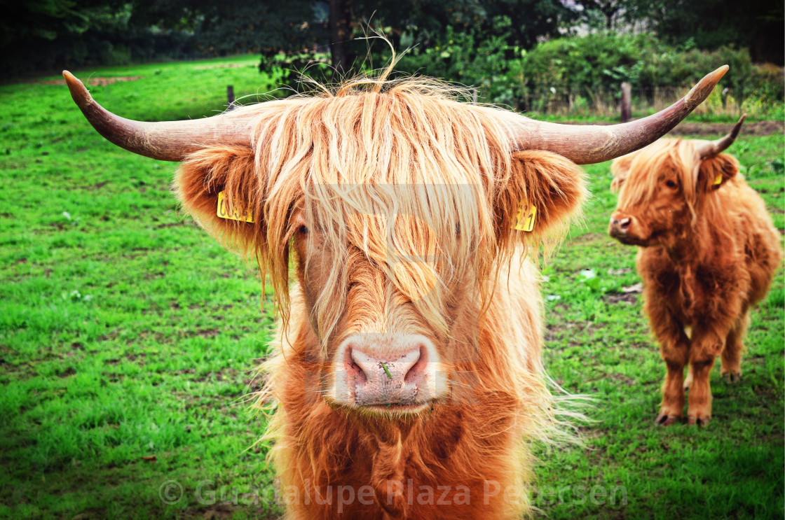 """Danish cow"" stock image"