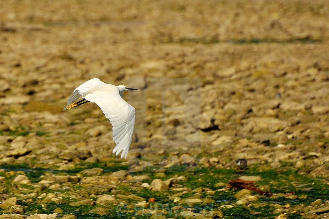 """An Egret in flight"" stock image"